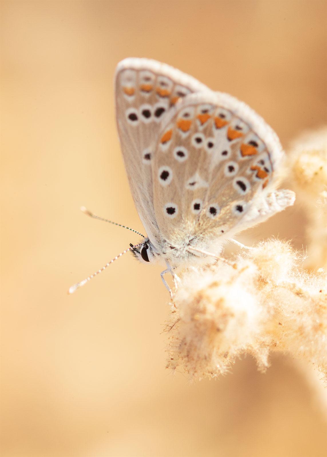 Macro de mariposa en tonos tostados