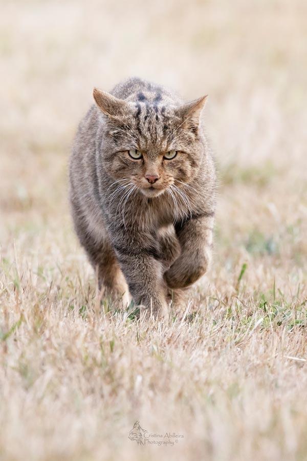 Gato montés caminando