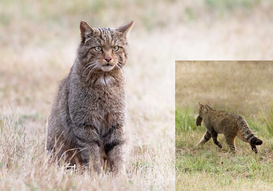Gato montes sentado y cazando