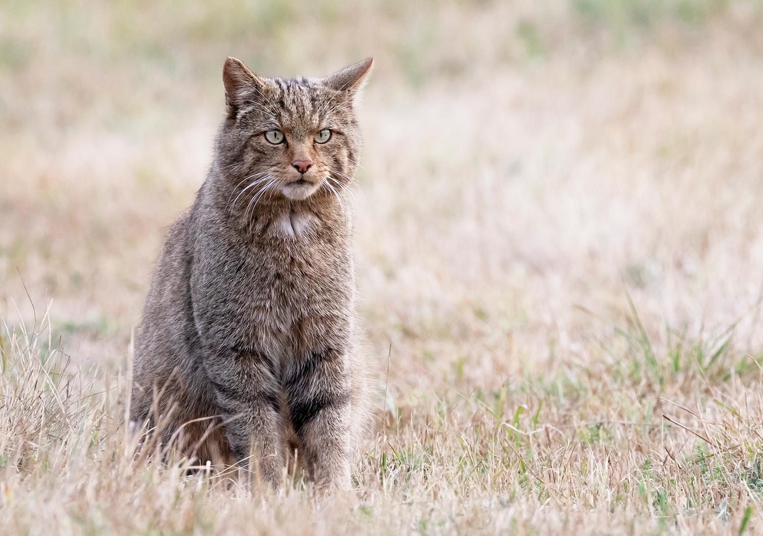 Gato montes sentado 2