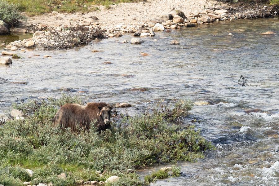 Buey almizclero en el río