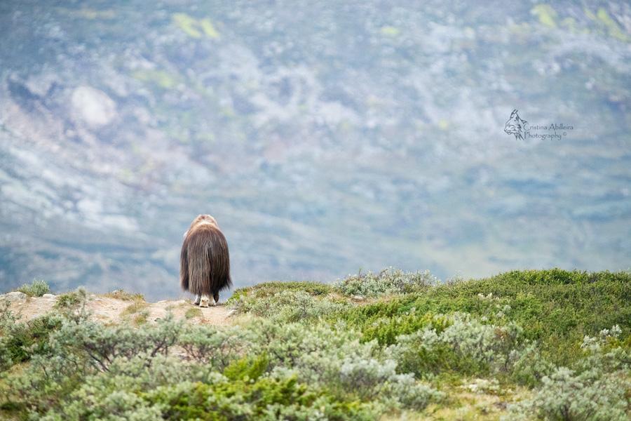 Buey almizclero espalda-paisaje