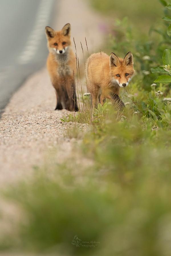 crias-de-zorro-rojos-Suecia