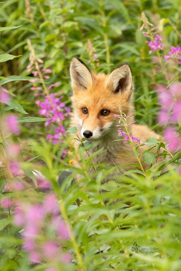 zorro-rojo-entre-flores